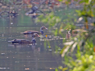 White-winged Duck © Kit Day