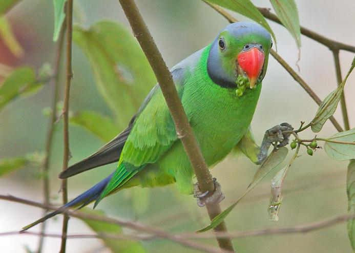 Layards Parakeet © Uditha Hettige