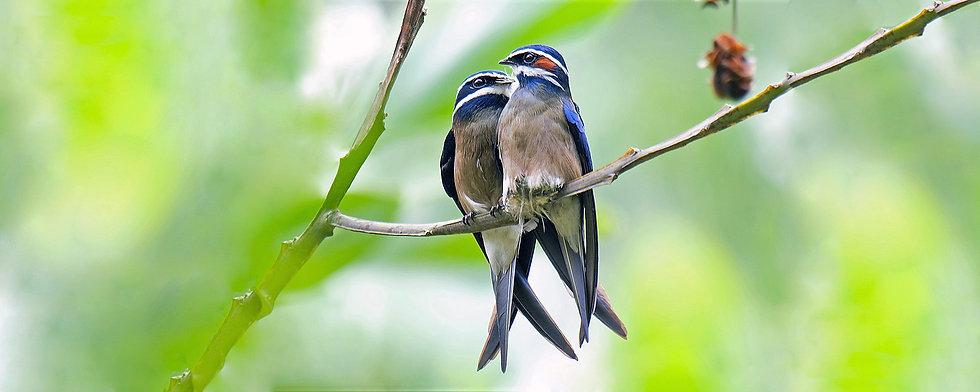 Whiskered Treeswift Bird Tour Malaysia_E