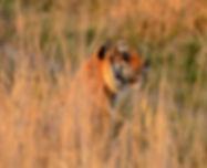 CI001_Tiger_QDS edt.jpg