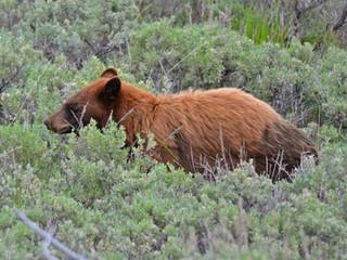 American Black Bear (subspecies cinnamomum)