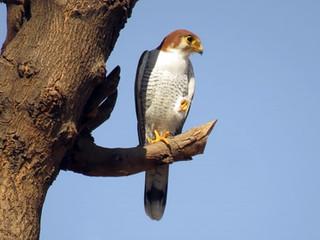 Red-necked Falcon © Lokesh Kumar