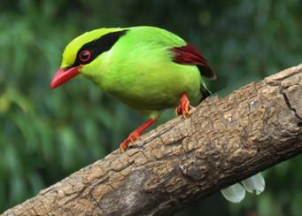 Common Green Magpie © Lokesh Kumar