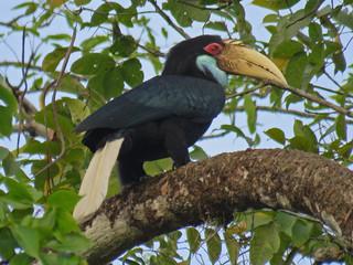 Wreathed Hornbill © Lokesh Kumar
