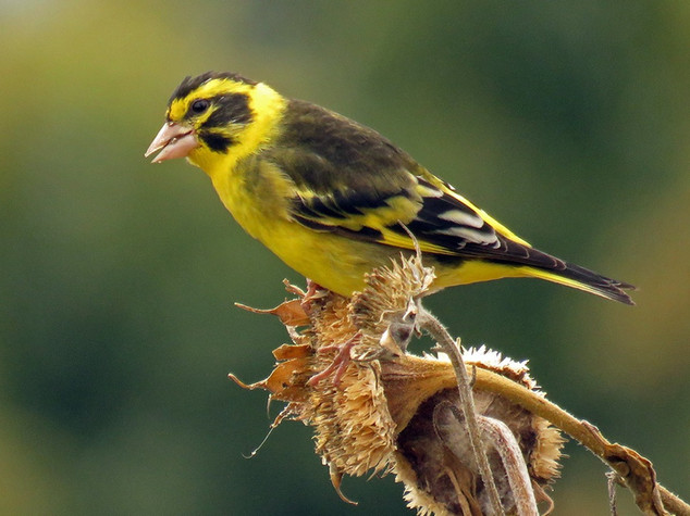 Yellow-breasted Greenfinch © Lokesh Kumar