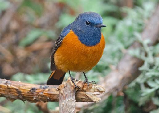 Blue-fronted Redstart