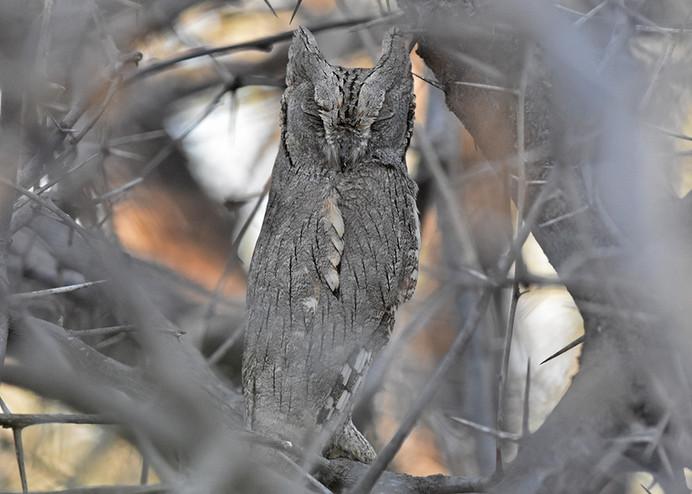 Pallid Scops-owl