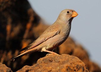 Trumpeter Finch © Kit Day