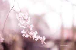 千手院の桜