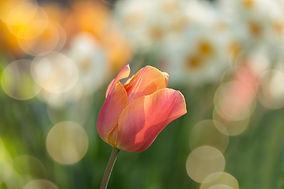 tulip-2189317_1920.jpg