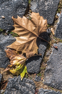Dry autumn leaf on cobblestone pavement.