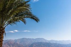 Palm on the edge of the Negev desert