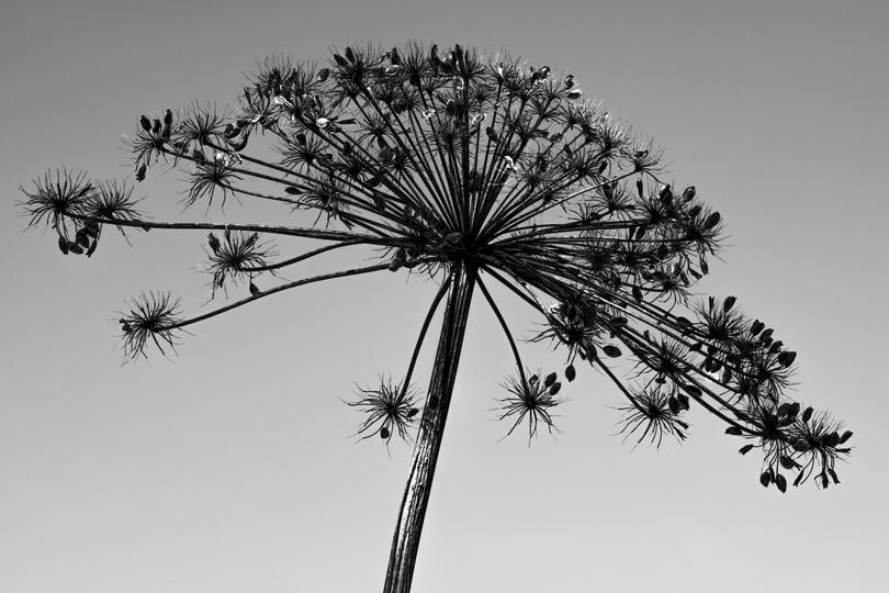 Dry flower Hogweed. B_W