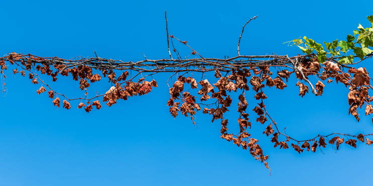 Dry vine against the sky