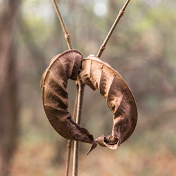 The dry leaves of Manchurian walnut