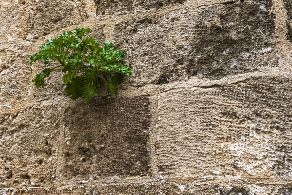 Sprout on the medieval wall