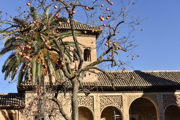 Persimmon in the garden of the Alhambra.