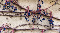Dried fruits of grapes on old wall