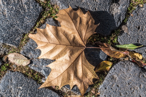 Maple leaf on stone pavement