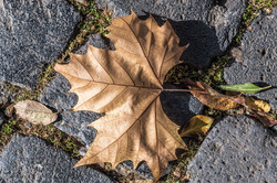 Maple leaf on stone pavement