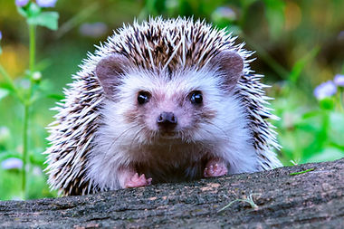 hedgehog.jpeg