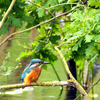 Kingfisher 5 photo shop.jpg