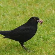 Worm Blackbird.jpg