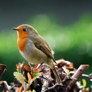 Robin on hedge.jpg
