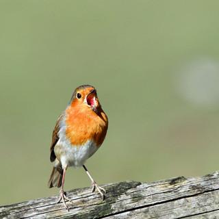 Robin singing_300dpi.jpg