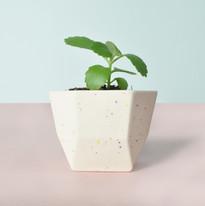Yucca_confetti_plantje