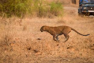 Leopard sprinting at Satpura