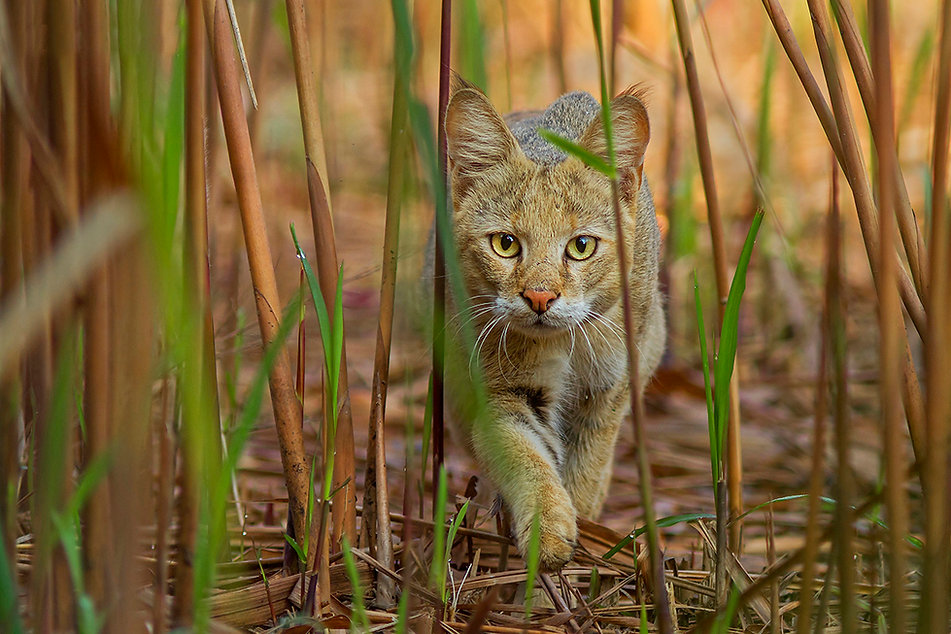 The Jungle Cat stalking its prey
