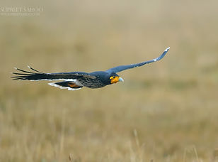 caranculated-caracara_36231573245_o_edit