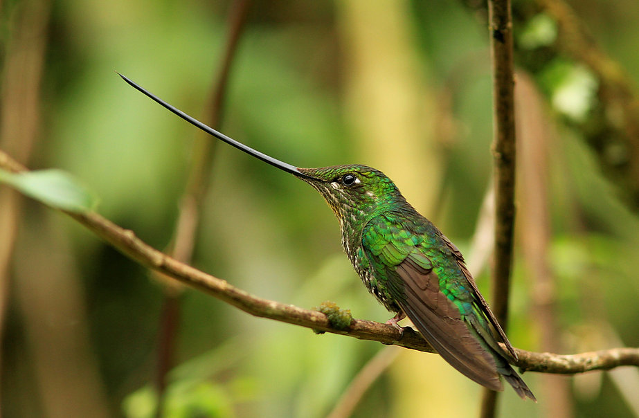 Sword Billed Hummingbird ( Ensifera ensi