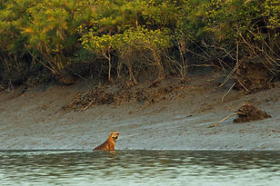 Tiger Swimming In Sundarbans