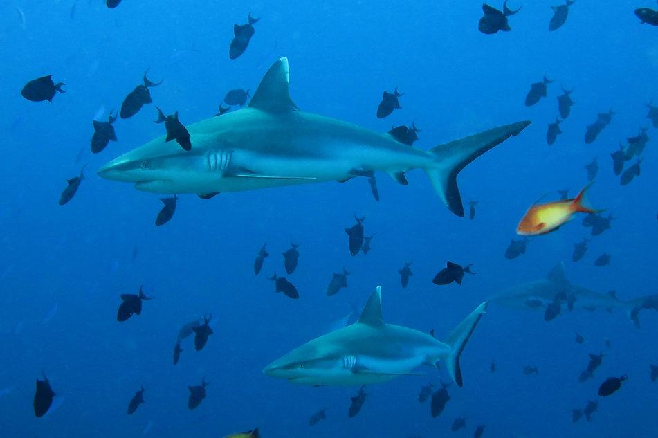 White-tip Sharks