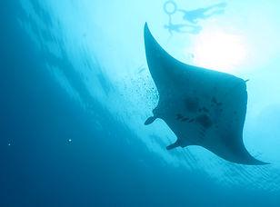 Manta with snorkelers.JPG