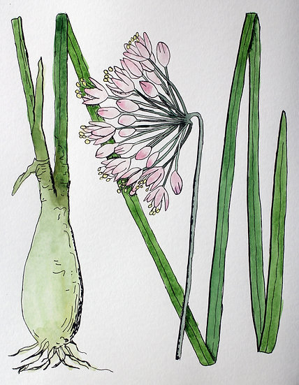 Nodding onion