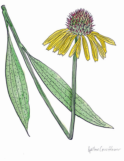 Coneflower, Yellow