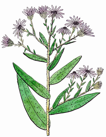 Aster, Aromatic