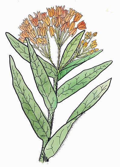 Butterfly Milkweed