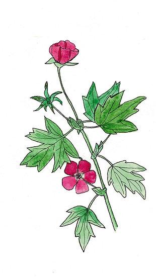 Bush's Poppy Mallow