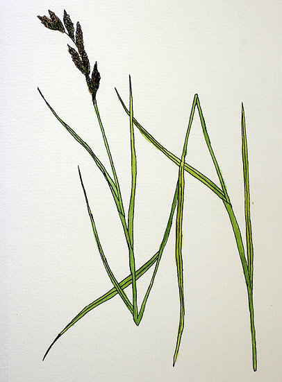 Sedge, Palm