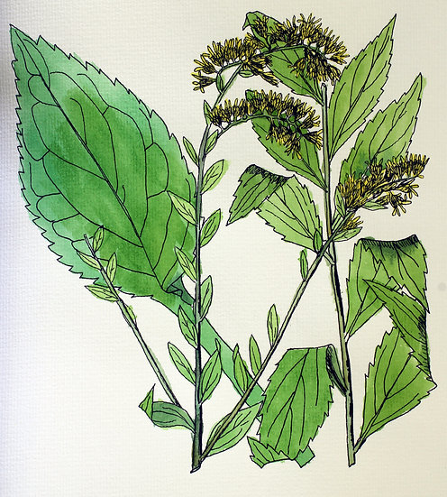 Goldenrod, Elm-leaved