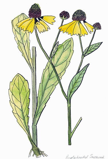 Sneezeweed, Purple-headed