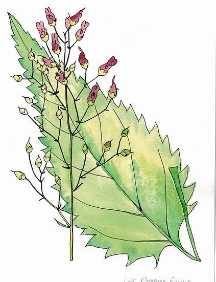 Figwort, Late