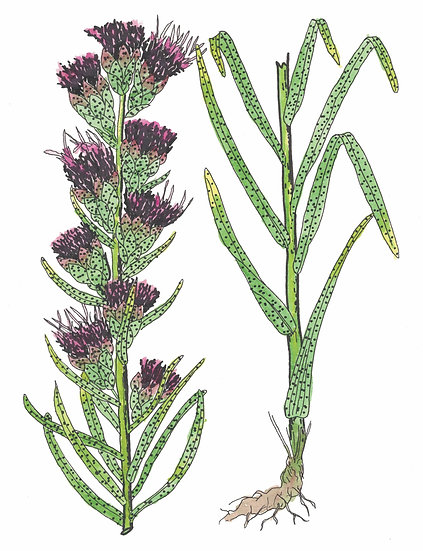 Blazing Star, Dotted