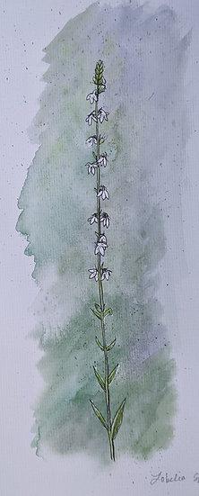 Pale-spiked Lobelia
