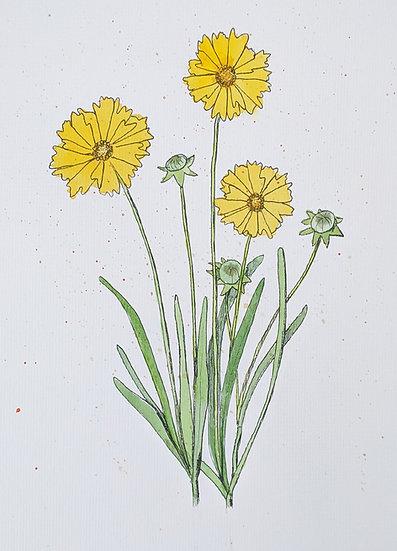 Large-flowered Coreopsis