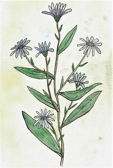 Aster, Lavender